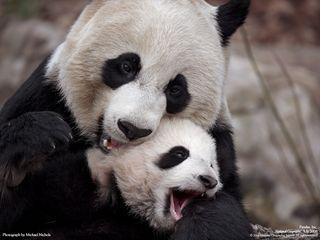 初めての子どもタイシャン(泰山)に、愛おしそうに鼻をすりつける母パンダ、メイシャン(美香)。